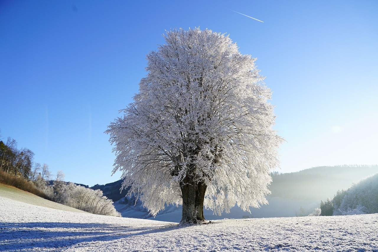 Lone tree covered with icy snow. Ground covered with light, crusty snow